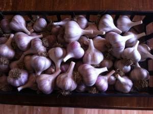 Music Garlic Harvest